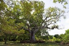 gigantyczne drzewo Zdjęcie Royalty Free