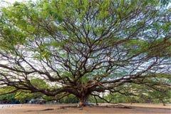gigantyczne drzewo Obrazy Stock