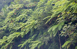 Gigantyczne paprocie, las tropikalny, Puerto Rico Zdjęcie Stock