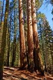 Gigantyczne sekwoje w sekwoja parku narodowym Zdjęcie Stock