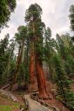 Gigantyczne sekwoje w sekwoja parku narodowym zdjęcia stock