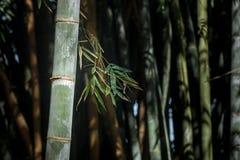 Gigantycznego bambusa las w Kandy ogródzie botanicznym, Sri Lanka Obrazy Stock