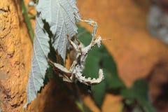 gigantycznego insekta kłujący kij fotografia royalty free