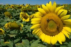 Gigantycznego słonecznika i miodu pszczoły obrazy royalty free