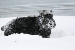 Gigantycznego Schnauzer stojaki w głębokim śniegu w zimie obraz stock