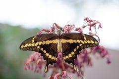 Gigantycznego swallowtail Papilio motyli cresphontes Obraz Royalty Free