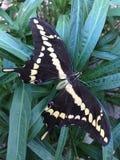 Gigantycznego swallowtail Papilio motyli cresphontes Obrazy Stock
