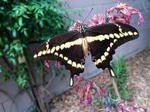 Gigantycznego swallowtail Papilio motyli cresphontes Zdjęcie Royalty Free