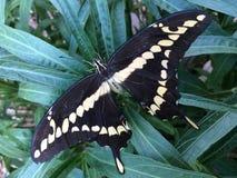 Gigantycznego swallowtail Papilio motyli cresphontes Zdjęcia Royalty Free