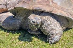 Gigantycznego Tortoise łasowania trawy zakończenie Up Zdjęcie Stock