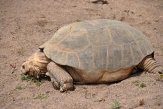 Gigantycznego tortoise karmienie dalej trochę trawa obrazy royalty free