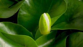 Gigantycznej amazonki wodna leluja kiełkuje i kwiat kwitnie obraz stock