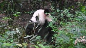 Gigantycznej pandy łasowania bambus przy rankiem zdjęcie wideo