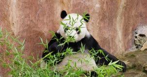 Gigantycznej pandy łasowania bambus przy zoo zbiory