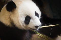 Gigantycznej pandy łasowania bambusowy urlop obraz stock