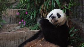 Gigantycznej pandy Ailuropoda melanoleuca łasowania bambus w zoo zbiory