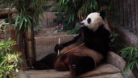 Gigantycznej pandy Ailuropoda melanoleuca łasowania bambus w zoo zbiory wideo