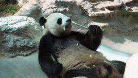 Gigantycznej pandy Ailuropoda melanoleuca łasowania bambus w zoo zdjęcie wideo