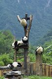 Gigantycznej pandy juveniles bawić się na platformie zdjęcia stock