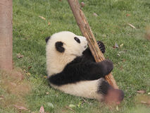 Gigantycznej pandy lisiątka bawić się Obraz Royalty Free