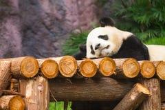 Gigantycznej pandy lisiątko Obrazy Stock