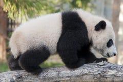Gigantycznej pandy lisiątko Zdjęcia Royalty Free