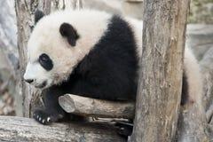 Gigantycznej pandy lisiątko Zdjęcie Stock