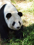 Gigantycznej pandy niedźwiedź Fotografia Stock