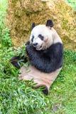 Gigantycznej pandy niedźwiedź je bambusa w zoo obrazy royalty free