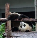 Gigantycznej pandy niedźwiedź (lisiątko) Obrazy Stock