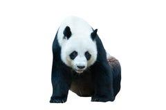 Gigantycznej pandy niedźwiedź na bielu Zdjęcia Stock
