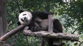 Gigantycznej pandy niedźwiedzie zdjęcie wideo
