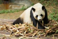 Gigantycznej pandy przyglądający bambus Zdjęcie Royalty Free