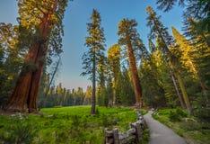 gigantycznej sekwoi drzewa Fotografia Royalty Free