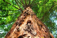 gigantycznej sekwoi drzewa Obrazy Stock