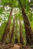 gigantycznej sekwoi drzewa Obrazy Royalty Free