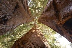 Gigantycznej sekwoi drzewa, sekwoja park narodowy, California, zlany s Zdjęcia Stock