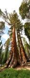 gigantycznej sekwoi drzewo Zdjęcie Royalty Free
