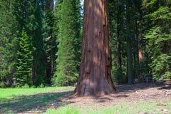 Gigantycznej sekwoi redwood drzewa w sekwoja parku narodowym zdjęcie stock