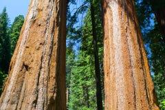 Gigantycznej sekwoi redwood drzewa w sekwoja parku narodowym obraz stock
