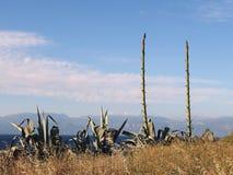 Gigantyczni agawa kaktusa trzony Zdjęcia Royalty Free
