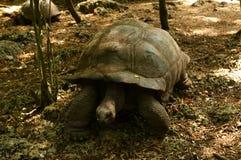 gigantyczni aldabra tortoises Zdjęcie Royalty Free