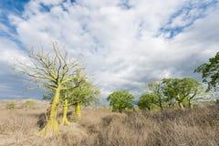 Gigantyczni ceiba drzewa, Ekwador Obraz Stock