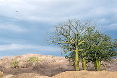 Gigantyczni ceiba drzewa, Ekwador Zdjęcia Royalty Free