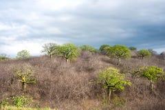 Gigantyczni ceiba drzewa Ekwador Zdjęcie Stock