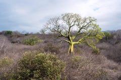 Gigantyczni ceiba drzewa r up w wybrzeżu Ekwador Fotografia Stock