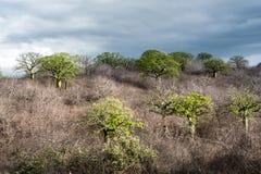 Gigantyczni ceiba drzewa r up w wybrzeżu Ekwador Zdjęcie Stock