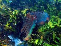 Gigantyczni Cuttlefish Fotografia Royalty Free