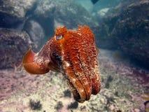 Gigantyczni Cuttlefish Zdjęcia Stock