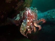 Gigantyczni Cuttlefish Obraz Stock